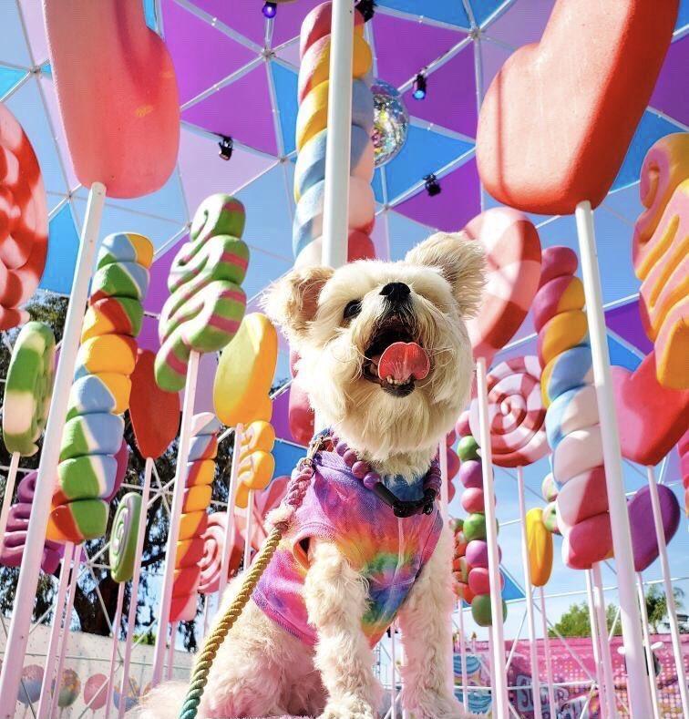 Dog at Sugar Rush